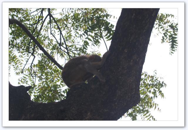 Macaque affamé